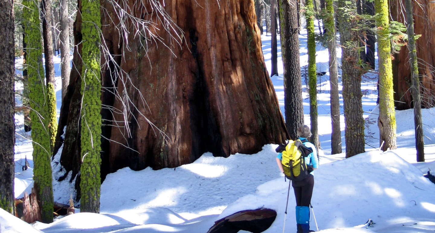 The base of a giant sequoia trunk in the snow.