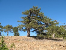 Artemio: an open stand of Pinus nigra, at ca. 1815 m.