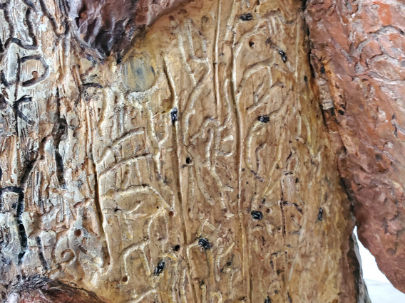 Bark beetle galleries on the wood surface under the bark flap.