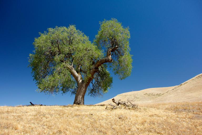 oak in California