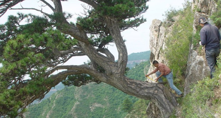 Lei Wang and Jungang Dong of the Chinese Academy of Sciences in Xi'an, China, take a sample from an ancient southern Chinese pine tree on Mt. Helan in the western Loess Plateau of China.