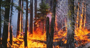 Fire in the understory of a Californian conifer forest