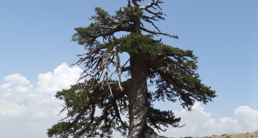 The tree in its Pindus Mountains setting.